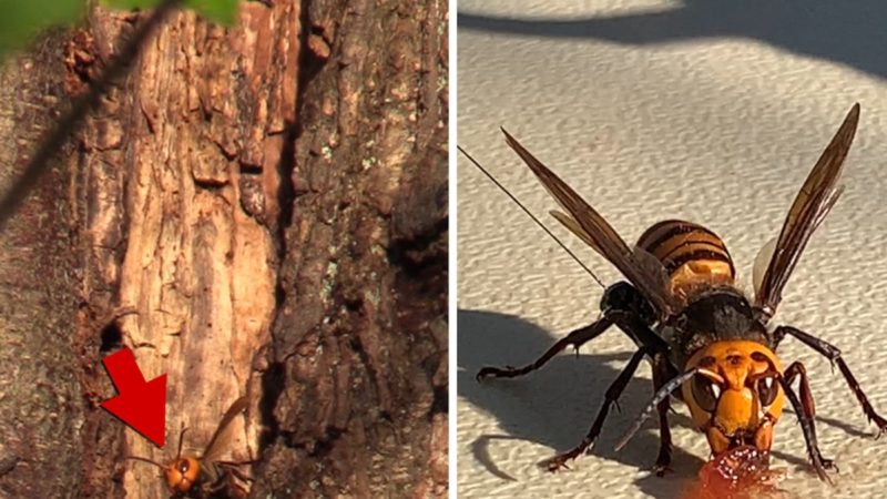 Deadly Murder Hornets Nest Found In Washington State, Invading U.S.