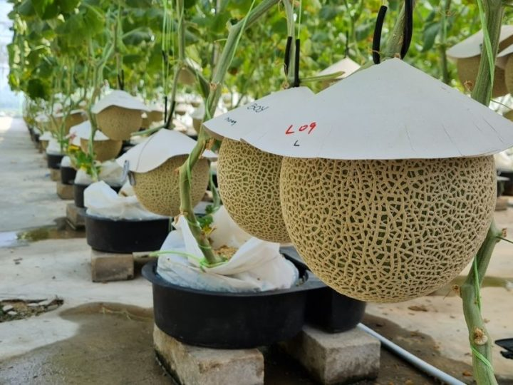 IoT Smart-Farming Japanese Muskmelons In M'sia