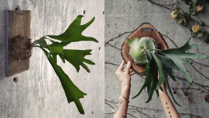 Wall-mounted staghorn fern plants for condo decoration
