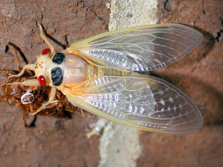 Why Do People Fear Cicadas?